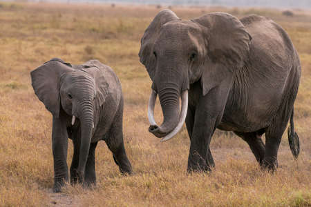 African Elephants feeding at national Park