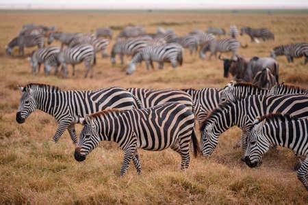 Zebra on grassland in National Park