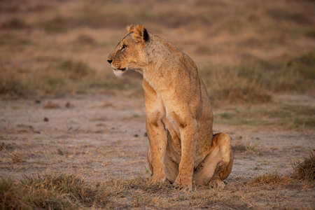 A female lion on National Park Stock Photo