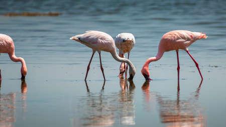 Lesser Flamingo in Lake Nakuru National Park ,Kenya. Banco de Imagens