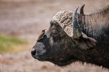 African buffalo with Red-Billed Oxpecker in Lake Nakura National Park ,Kenya.