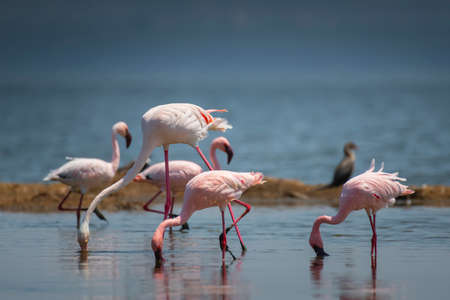Greater and Lesser Flamingo in National Park ,Kenya.