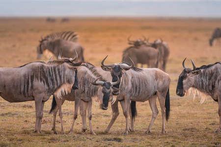 Wildebeest on grassland in  National Park