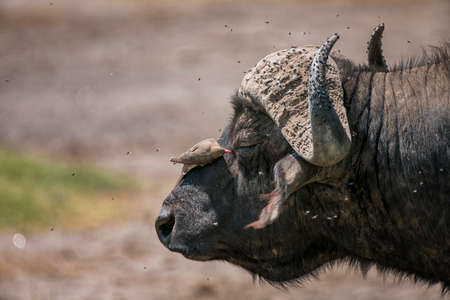 African buffalo with Red-Billed Oxpecker in National Park ,Kenya.