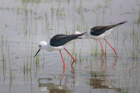 Black winged stilt feeding in National Park