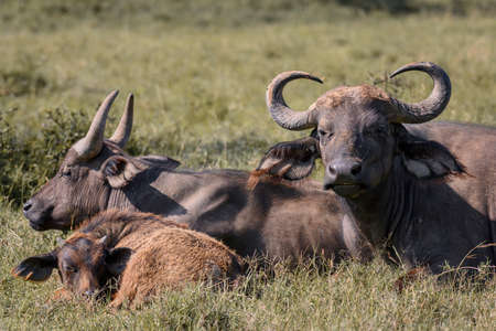 African buffalo in  National Park ,Kenya.