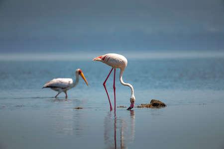 Greater Flamingo in  National Park ,Kenya.