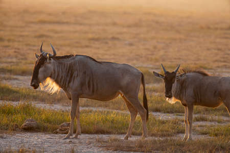 Wildebeests in National Park Stockfoto