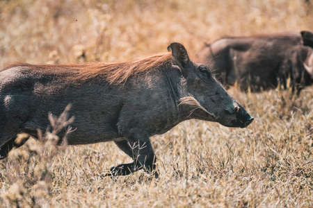 Young Warthog in National Park