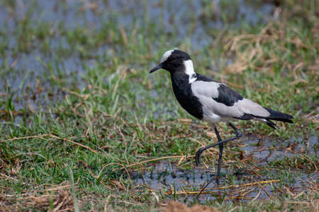 Blacksmith Plover feeding in National Park