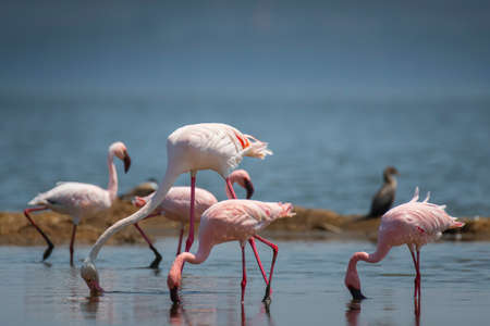 Greater and Lesser Flamingo in National Park 스톡 콘텐츠