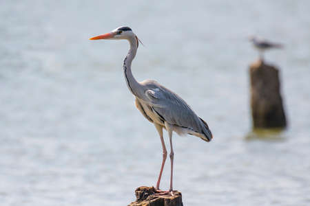 Grey Heron in Lake Naivasha ,Kenya.