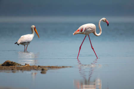 Greater Flamingo in National Park 스톡 콘텐츠