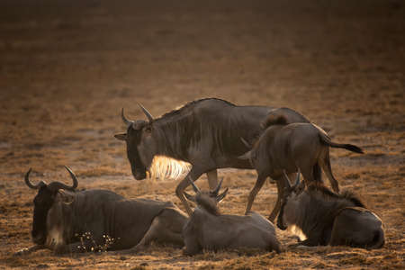 Wildebeest on grassland in National Park