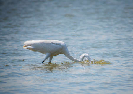Yellow-billed Egret in Lake Naivasha ,Kenya. 스톡 콘텐츠