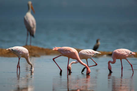 Lesser Flamingo in  National Park