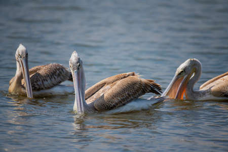 Great white pelican (Pelecanus onocrotalus), Lake Naivasha, Kenya.