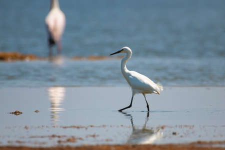 Little egret (Egretta garzetta) standing in waterNational Park
