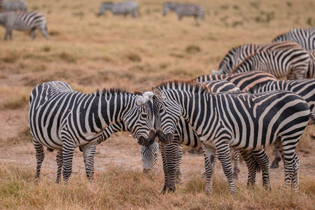 Zebra on grassland in National Park