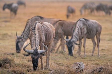 Wildebeests in National Park 스톡 콘텐츠