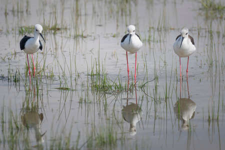 Black winged stilt feeding in National Park