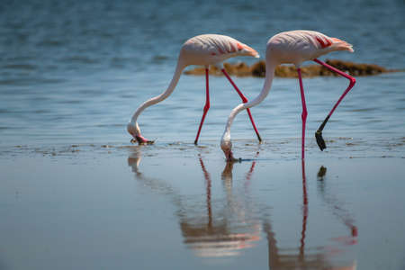 Greater flamingo in National Park