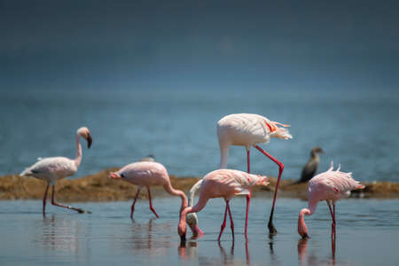 Greater and Lesser Flamingo in  National Park