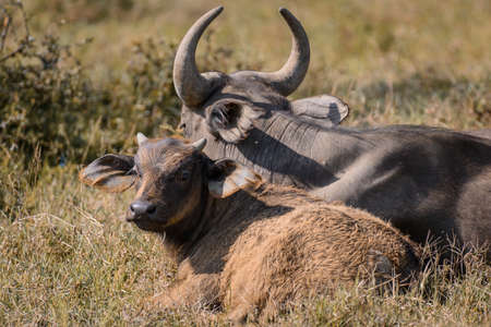 African buffalo in National Park 스톡 콘텐츠