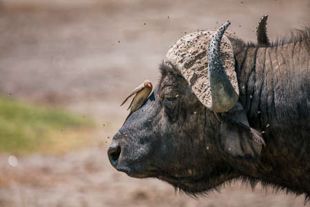 African buffalo with Red-Billed Oxpecker in National Park