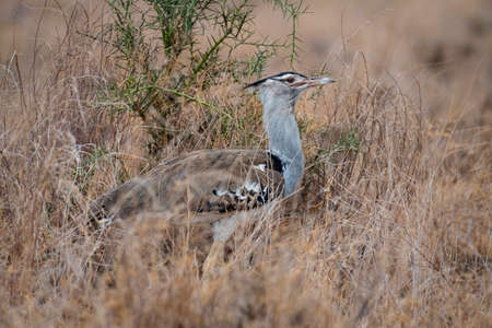 Kori Bustard in National Park 스톡 콘텐츠