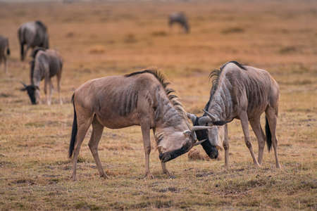 Two Wildebeest fighting in National Park
