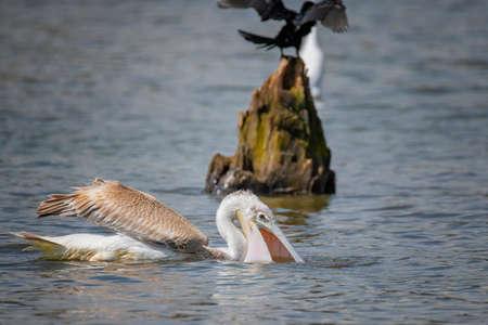 Great white pelican (Pelecanus onocrotalus), Kenya. Stock Photo