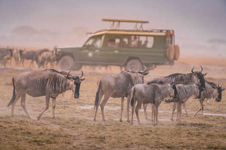 Wildebeest on grassland in Amboseli National Park ,Kenya.