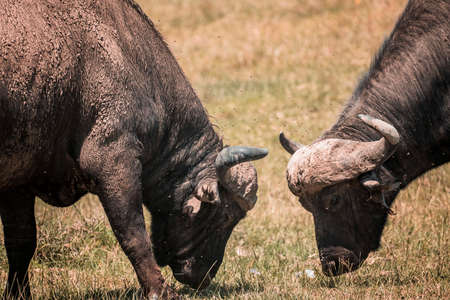Two African buffalo fighting in National Park 스톡 콘텐츠