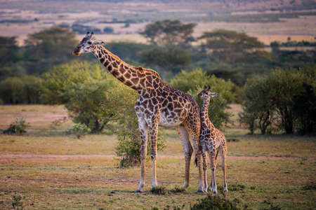 Lindo bebé jirafa con safari de madre, Kenia.