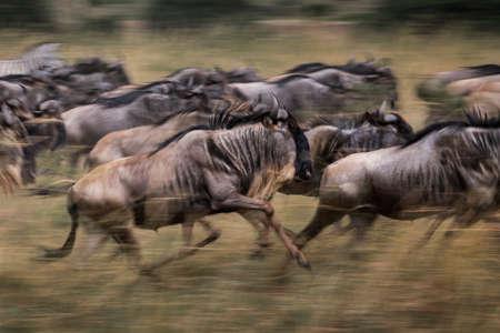 Wildebeests running in grassland National Reserve ,Kenya.Blur focus effect.