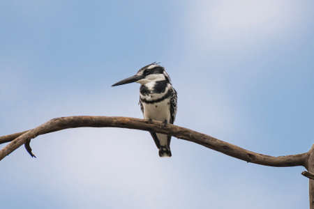 Pied kingfisher on branch in safari ,Kenya. Stock Photo