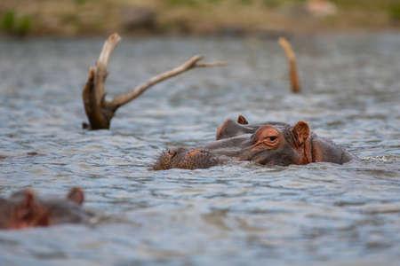 Hippopotamus in lake Naivasha ,Kenya.