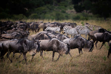 Wildebeests running in grassland  National Reserve ,Kenya.