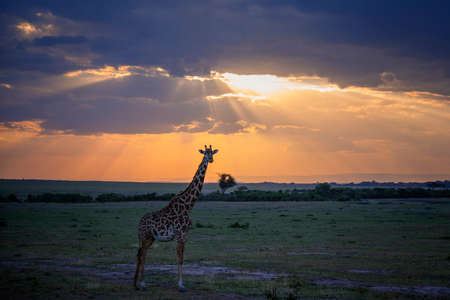 Masai Giraffe walking at sunset in safari ,Kenya.
