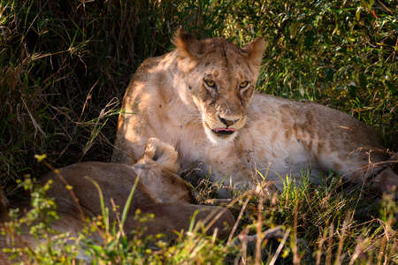 Portrait of Lioness tired after hunting in safari ,Kenya. Stock Photo