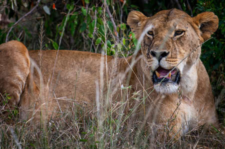 Portrait of Lioness tired after hunting in safari ,Kenya. 免版税图像