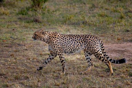 Cheetah on grassland in safari ,Kenya. Stock Photo