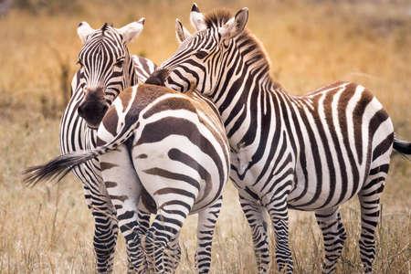Zebra on grassland in safari ,Kenya.