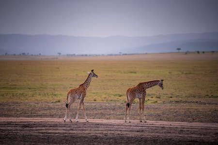 Two Young Giraffe and savannah view in safari ,Kenya. Stock Photo