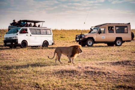 Big Lion and tourists safari in safari ,Kenya.