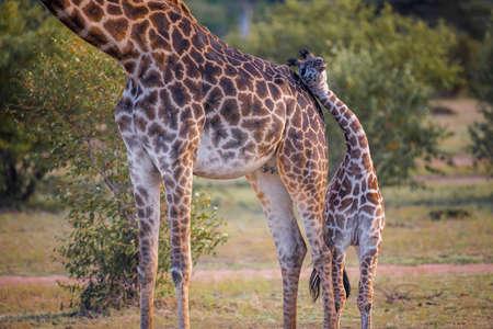 Cute baby Giraffe with mother safari ,Kenya.