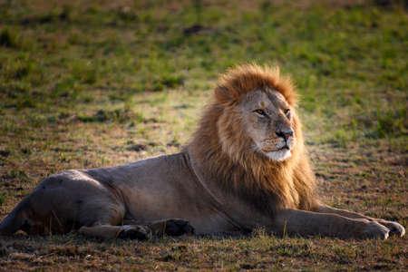 Portrait of Big Lion in safari ,Kenya.