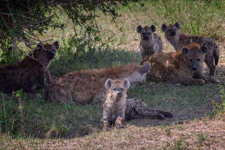 Spotted hyena family in safari ,Kenya.