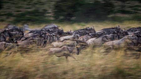 Wildebeests running in grassland National Reserve ,Kenya.Blur focus effect. Stock Photo